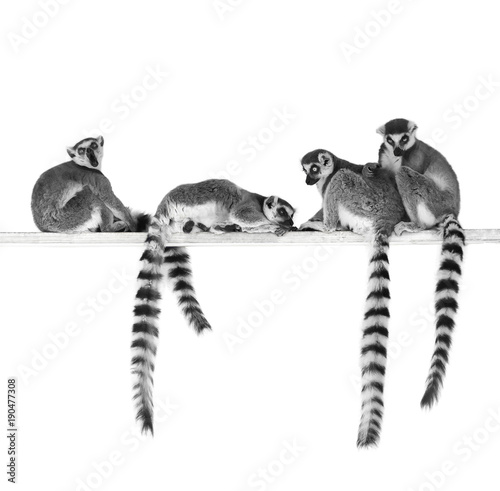 Photo sur Aluminium Singe Black and white image of ring-tailed lemurs isolated on white background