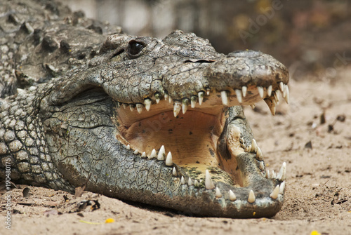 Foto op Plexiglas Krokodil Nile Crocodile, Crocodylus niloticus, head detail, crocodile farm, South Africa