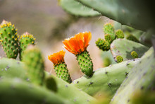 Blooming Flower Of Opuntia Cactus Tree