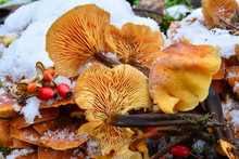 Flammulina Velutipes Mushrooms...