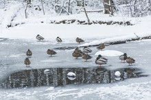 Ducks On Frozen Pond In Snowy ...