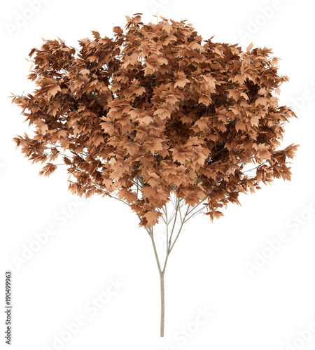 red maple tree isolated on white background. 3d illustration