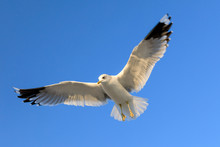 Closeup Of A Flying Seagull (l...