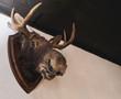 stuffed elk deer head on the wall of hunter house