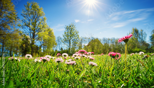 Fototapeta Meadow with lots of white and pink spring daisy flowers in sunny day. Nature landscape in estonia in early summer obraz na płótnie