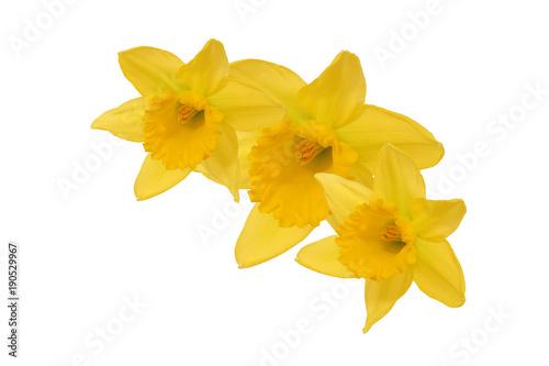 Papiers peints Narcisse Gelbe Narzisse - Osterblume