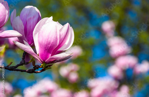 In de dag Magnolia beautiful spring background. Magnolia flowers closeup on a branch. blurred background of blossoming garden