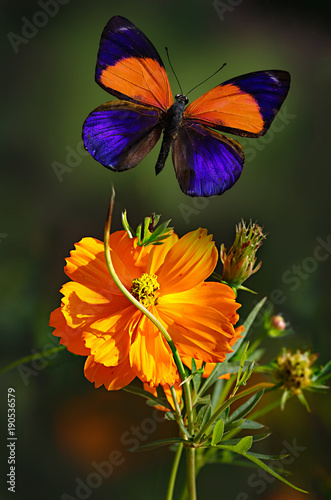 Fotografie, Obraz  Iridescent Asterope markii orange butterfly or the dotted glory, rare species, f