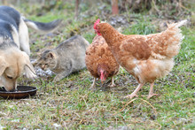 Domestic Animals Chicken Hen D...