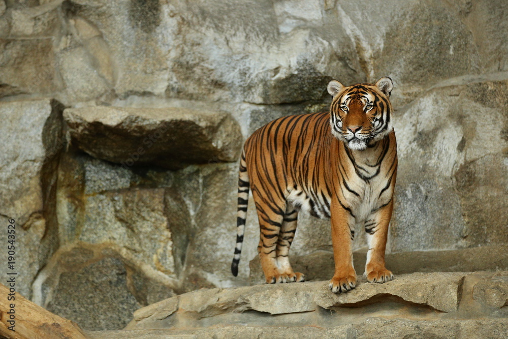 Indochinese tigers, Panthera tigris corbetti, resting and playing in the rocky mountain area. Dangereous predator in action. Tigers in nature habitat. Beautiful wild animals in captivity.