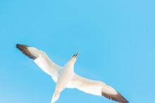 One Flying Gannet Bird Isolated Against Blue Sky In Perce, Gaspesie, Gaspe Region Of Quebec, Canada By Bonaventure Island