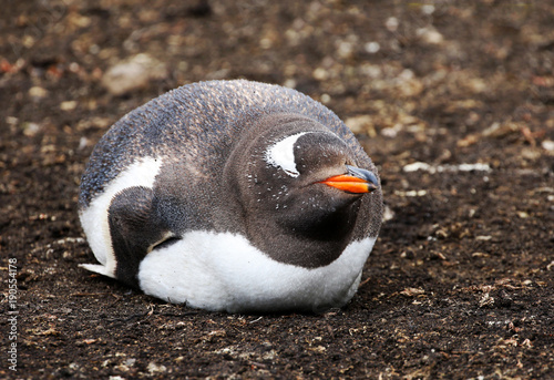 Gentoo Penguin Sleeping. Happy, contended, smiling, fat and round. Falkland Island.