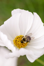 Bee In The Center Of White Flower With Yellow Center