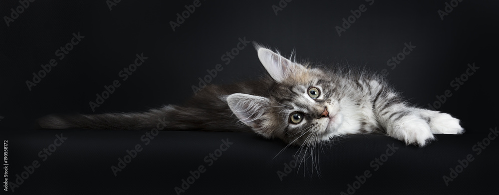 Fototapeta Lazy Maine Coon cat / kitten laying sideways and stretching out looking at the camera isolated on black background.