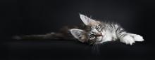 Lazy Maine Coon Cat / Kitten L...