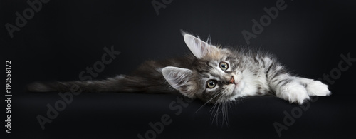 Obraz Lazy Maine Coon cat / kitten laying sideways and stretching out looking at the camera isolated on black background. - fototapety do salonu