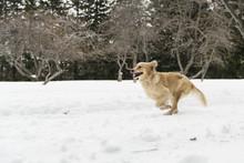 Golden Retreiver Dog Through W...