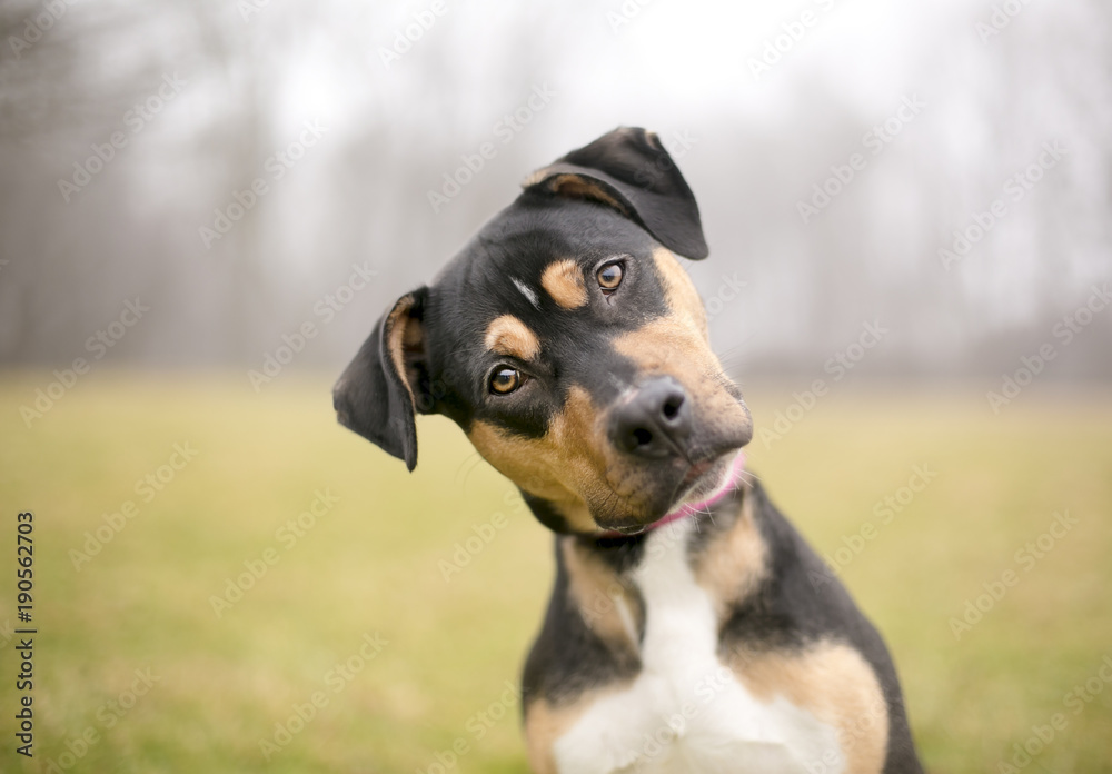 Fototapety, obrazy: A tricolor mixed breed dog listening intently with a foggy background