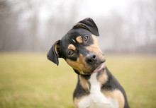 A Tricolor Mixed Breed Dog Lis...