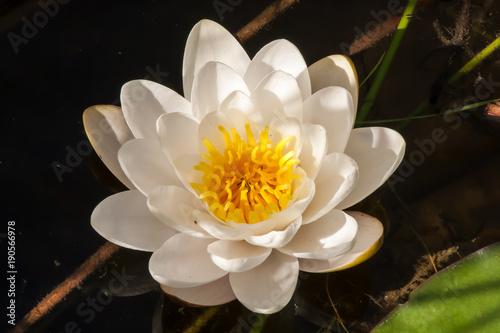Foto op Canvas Waterlelies Weiße Seerose