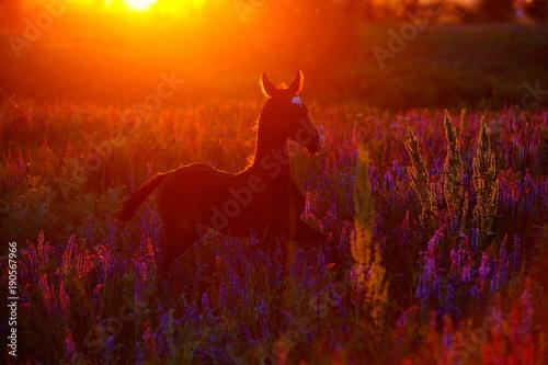 Garden Poster Brazil akhal-teke foal in sunset