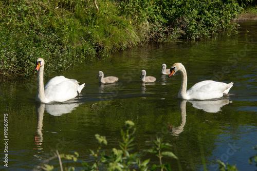 Schwanenfamilie schwimmt im Bach