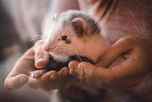 Closeup Of Cute Pet Ferret Res...