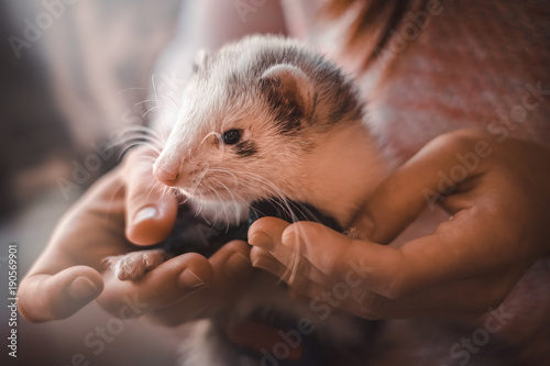 Closeup of cute pet ferret resting in hands of owner Billede på lærred