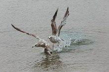 Seagull Chasing Another Seagul...