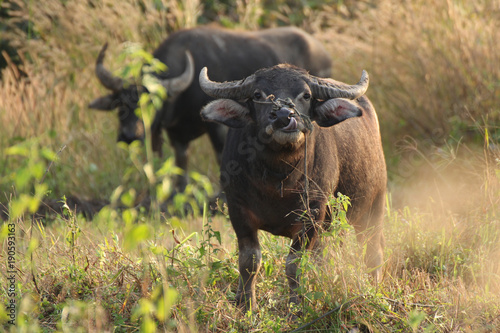 In de dag Buffel Close up buffalo is eating grass. The evening is golden.