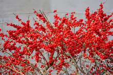 Branches Of Red Winterberry Pl...