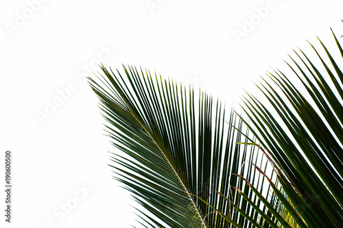 Canvas Prints Palm tree palm leaves isolated on white background