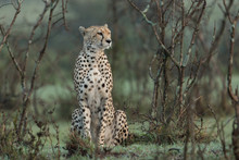 A Single Cheetah Rests Among T...