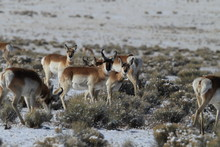 Pronghorn From New Mexico, With A Large Mountain Range In The Background