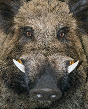 Head Wild Boar Animal Sus Scro...