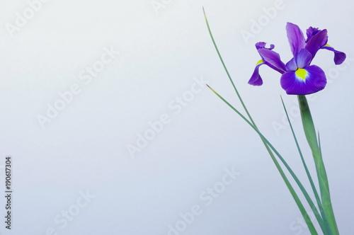 In de dag Iris 青紫色の球根アイリス(1輪)
