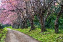 Beautiful Spring Cherry Blosso...