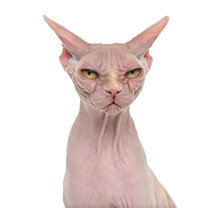 Sphynx, 4 Years Old, Against W...