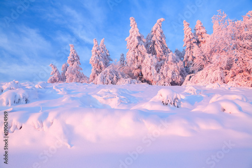 Tuinposter Purper Nice twisted trees covered with thick snow layer enlighten rose colored sunset in beautiful winter day. Unbelievable scene with snow covered forests.