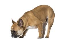 French Bulldog Sniffing Ground Against White Background