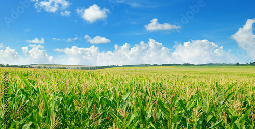 Fotobehang Cultuur Green corn field and blue sky. Wide photo.