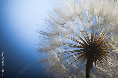 big dandelion on a blue background #190629718