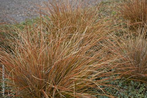 Fotografie, Obraz Carex buchananii
