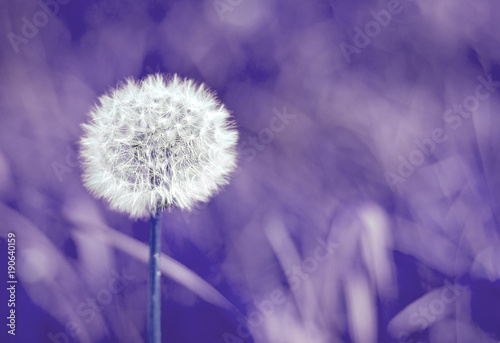 Fototapety, obrazy: Blurred selective focus of white dandelion on ultra violet background trend year color space for text nature toned purple
