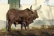 African Brown Bull Ankole Watu...