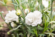 Flowering Of White Carnations ...