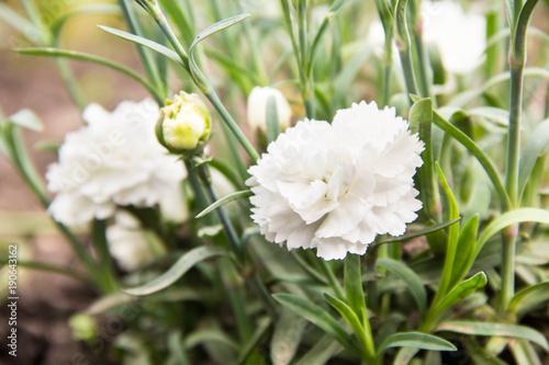 flowering of white carnations in the garden outdoor Wallpaper Mural