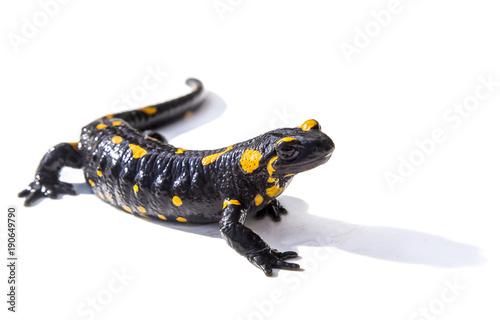 Salamander lizard on white background