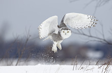 Snowy Owl (Bubo Scandiacus) Lifts Off To Hunt Over A Snow Covered Field In Canada