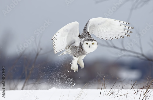 Spoed Fotobehang Uil Snowy owl (Bubo scandiacus) lifts off to hunt over a snow covered field in Canada
